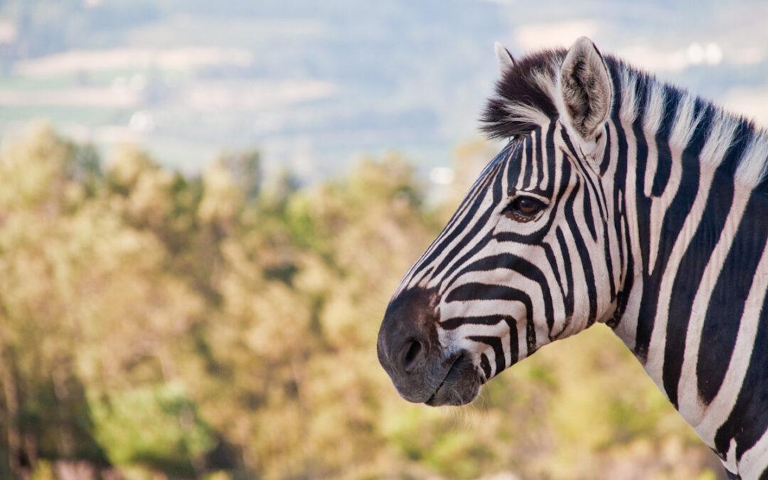 Franschhoek Zebra